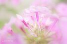 Pink softness by aMOONy