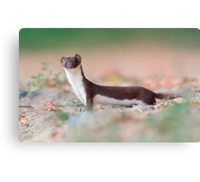 Least weasel Canvas Print