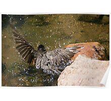 Bathing robin at Ward-Meade Poster