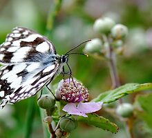 Marbled White Butterfly by Marilyn O'Loughlin