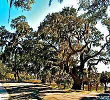 Live Oak, Beaufort by David Davies