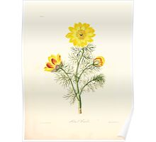 Floral illustrations of the seasons Margarate Lace Roscoe 1829 0048 Adonis Vernalis Poster