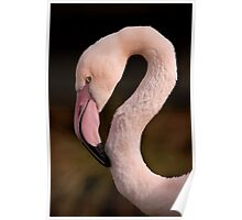 A Posing Chilean Flamingo - (Phoenicopterus chilensis) Poster