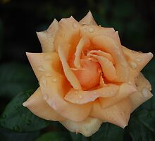 simple rose by daintyriches
