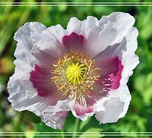 A poppy close up by Adri  Padmos