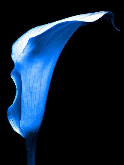 Cool Blue, Calla Lily. by Aj Finan