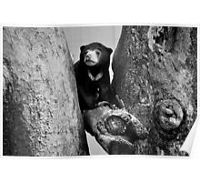 Favourite Climbing Place for Baby Sun Bear Poster
