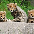 Cheetah cubs by Alan Mattison IPA