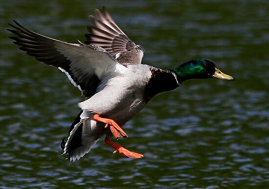 Flight Of The Mallard by snapdecisions
