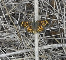 Pearl Crescent Butterfly - Austin, Tx., USA by Navigator