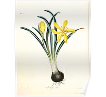 Floral illustrations of the seasons Margarate Lace Roscoe 1829 0344 Sternbergia Lutea Poster