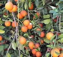 yummy oranges by jdphoto86
