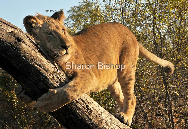Walking With lions - Victoria Falls, Zimbabwe # 4 by Sharon Bishop