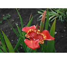 Red Mexican Shell Flower Photographic Print