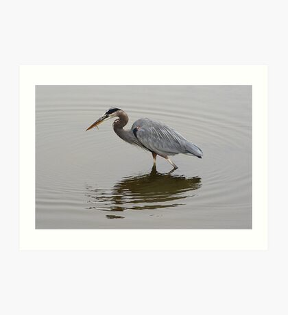 Great Blue Heron with Fish Art Print