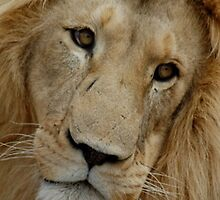 Face of a Lion by alinewton