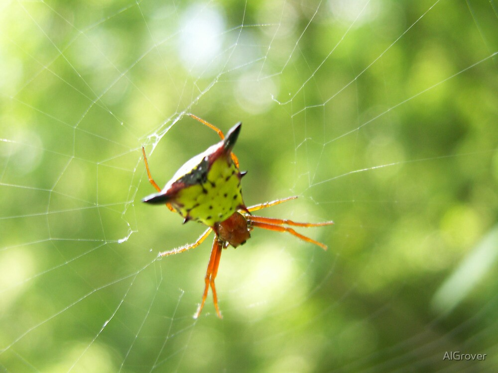 Orb Weaver by AlGrover
