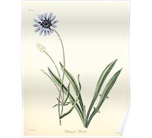 Floral illustrations of the seasons Margarate Lace Roscoe 1829 0124 Catananche Carulea Poster