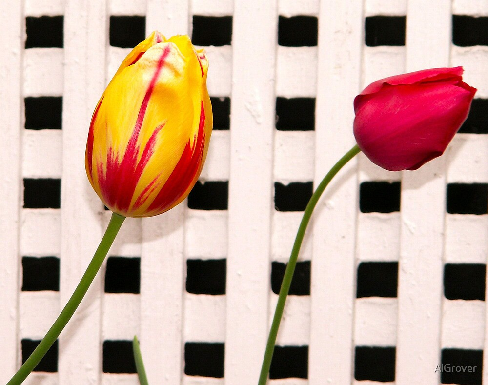 Tulips by AlGrover