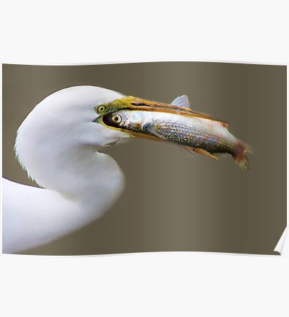 Egret eating a HUGE Fish he had just Caught Poster