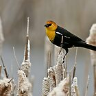Yellow Headed Blackbird by Ken McElroy