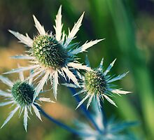 Sea Holly by Amanda Keaton