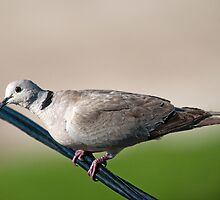 Ring neck dove by Bonnie T.  Barry