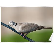 Ring neck dove Poster