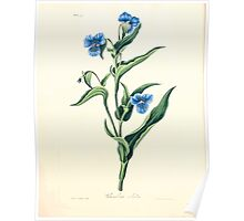 Floral illustrations of the seasons Margarate Lace Roscoe 1829 0338 Commelina Caelestis Poster