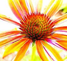 ~ Fiery Echinacea ~ by Brenda Boisvert