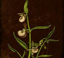 Botanica - Californian Slipper Orchid by Sybille Sterk