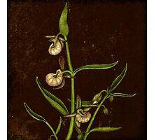 Botanica - Californian Slipper Orchid Photographic Print