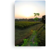 overlooking the vineyard Canvas Print
