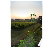 overlooking the vineyard Poster