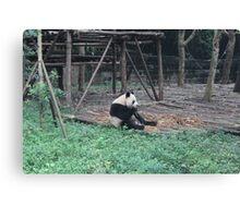 China - Panda in Chengdu Canvas Print