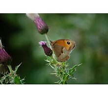 Orange Brown Heath Butterfly on Purple Scottish Thistle Photographic Print