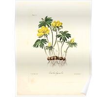 Floral illustrations of the seasons Margarate Lace Roscoe 1829 0188 Eranthis Hyemalis Poster