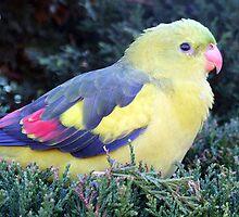Regent Parrot by EnviroKey