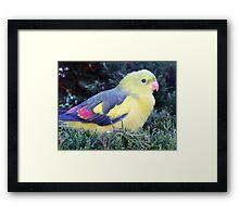 Regent Parrot Framed Print
