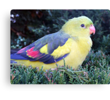 Regent Parrot Canvas Print