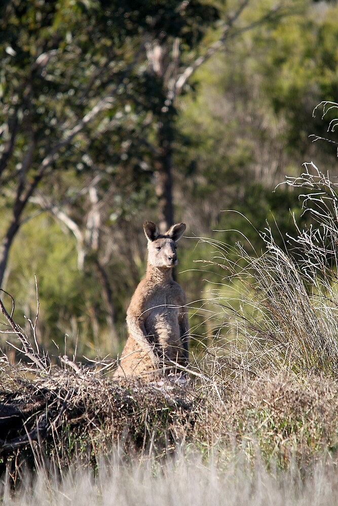 Eastern Grey Kangaroo by EnviroKey