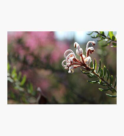 Nature - Native Australian Bush Flower in pale pink Photographic Print