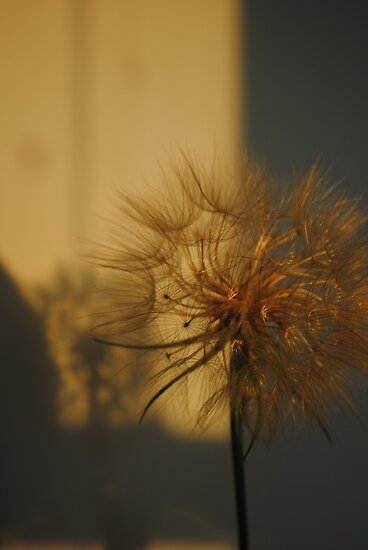 Dandelion at Sunset by goddarb