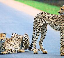 THE CHEETAH PAIR - Endangered species by Magaret Meintjes