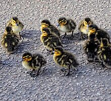 Fluff balls (Ducklings) by Karen  Betts