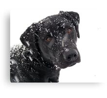 Black Lab Paying in the Snow Canvas Print