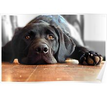 Lazy Black Lab  Poster