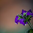 A petunia on an overcast day  by jayant