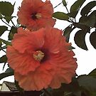 Hibiscus by Lilykoli