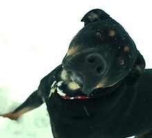 Rottweiler in snow by PhotoCrazy6